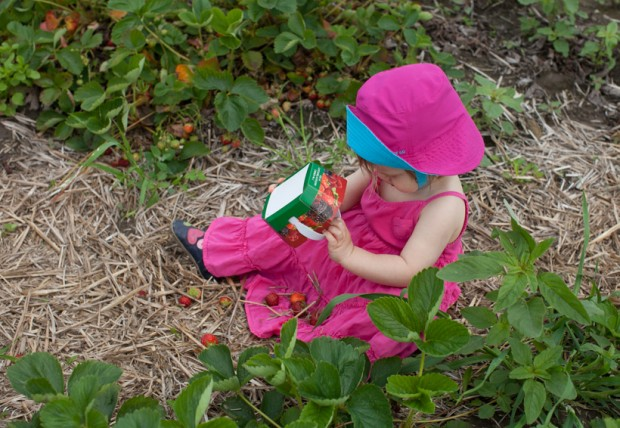 Strawberry u-pick on www.simplebites.net