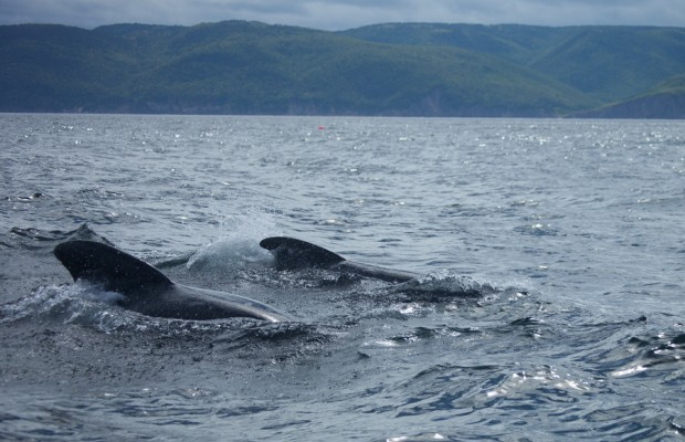 Pilot whale watching in Nova Scotia