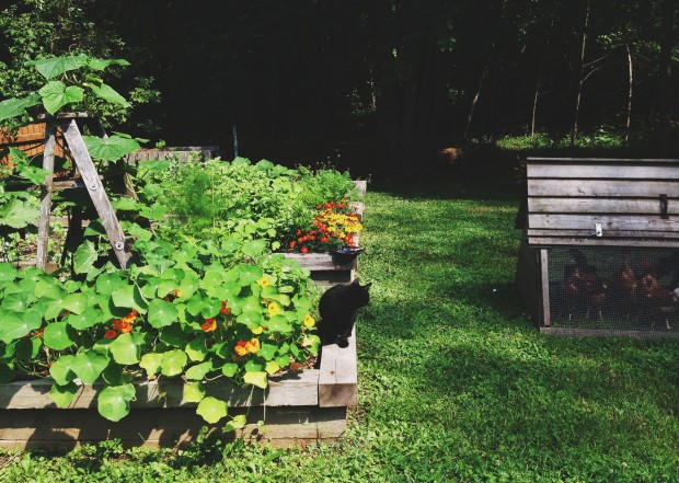 Garden, Cassis, and chickens