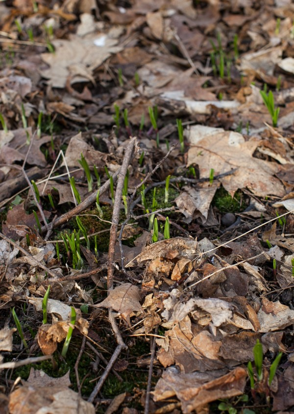 Spring ramps in the forest #ramps #spring