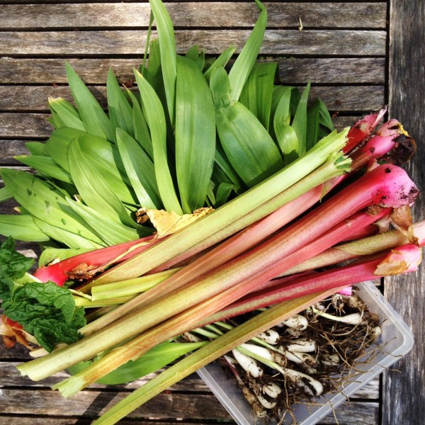 Spring produce: ramps. rhubarb