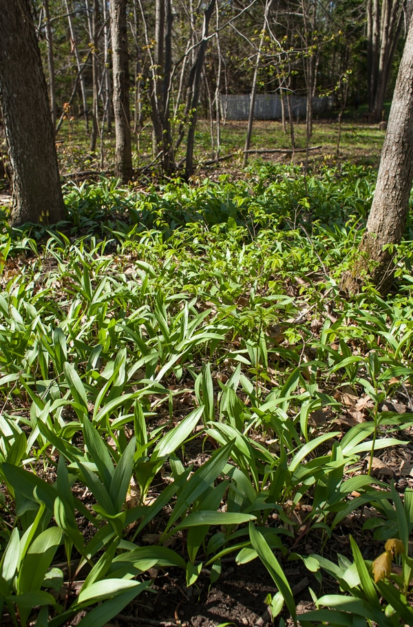 ramps in forest | simple bites #foraging