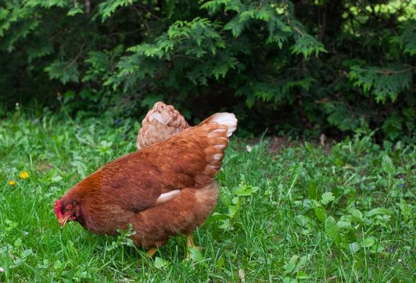 Backyard chickens | Simple Bites