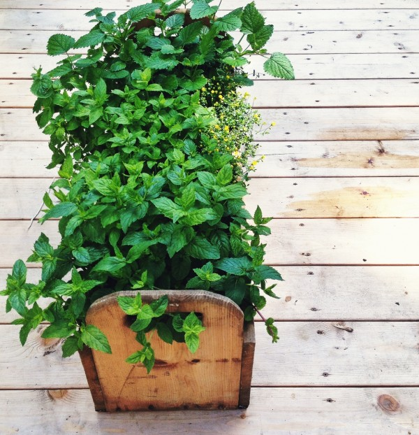Portable mint garden for mojito parties | Simple Bites