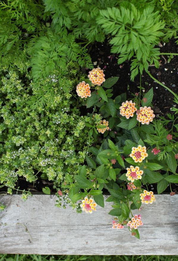 A Garden Tour | Simple Bites lemon thyme