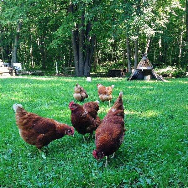 hens eating