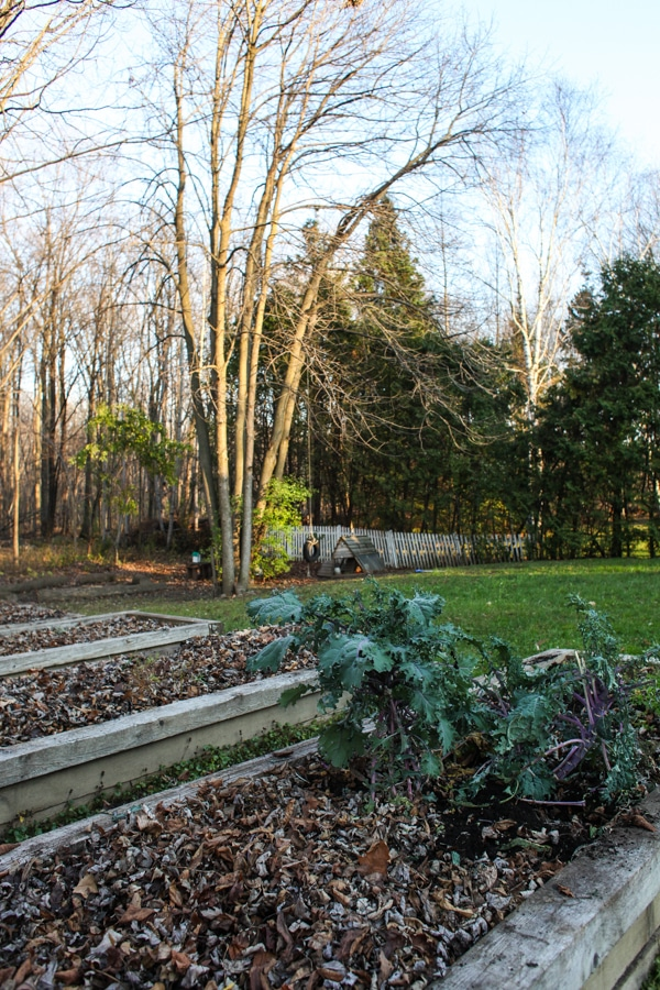 Why I mulch my garden in early fall #gardening #tips