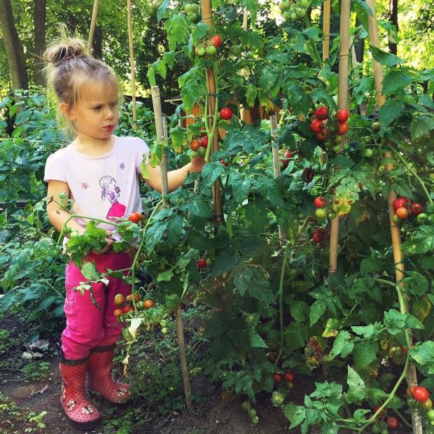 Clara tomatoes