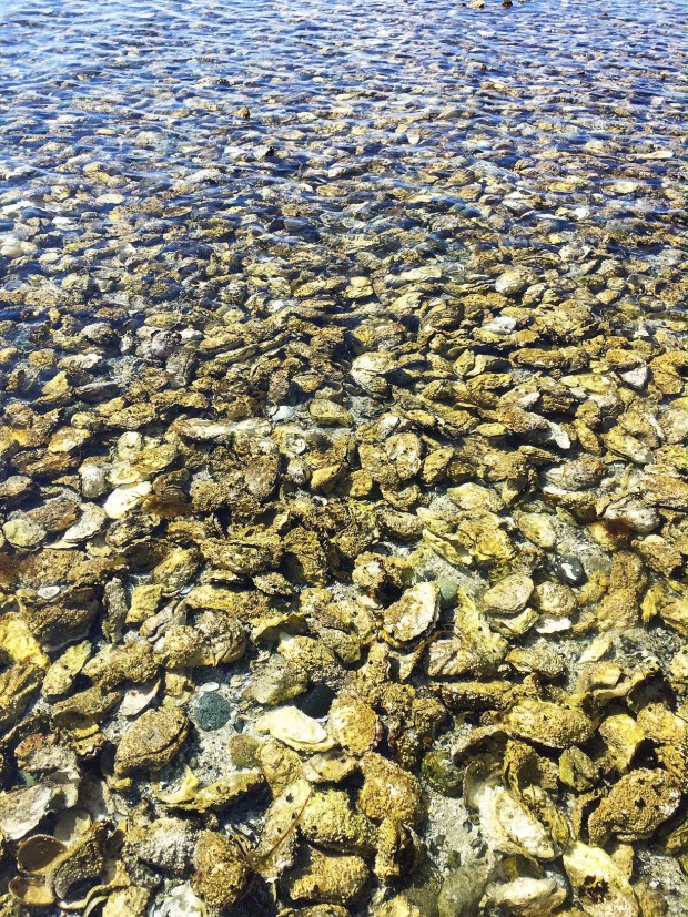 Oyster bed on Cortes Island || Simple Bites