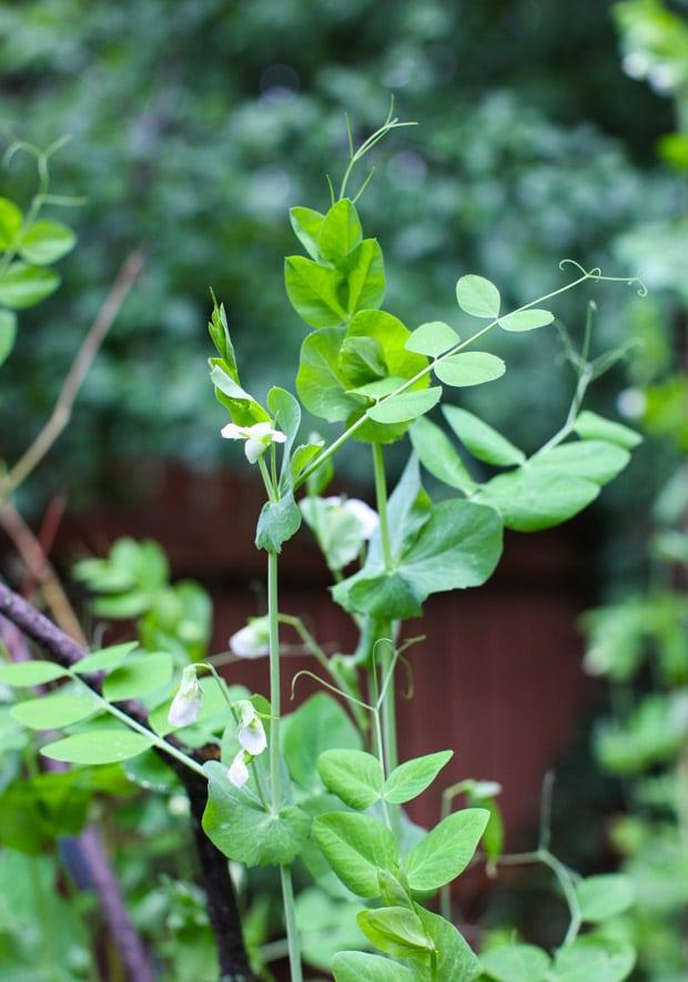 Tour the Simple Bites backyard garden in spring: peas
