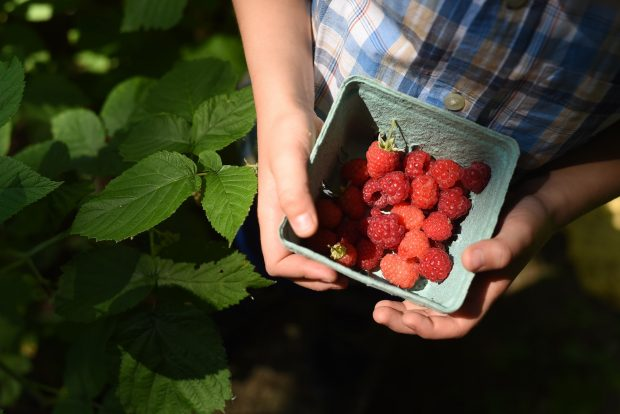 raspberries just picked