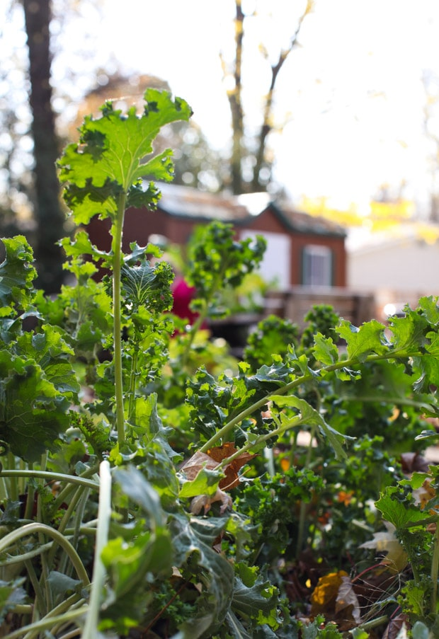 Kale growing in the garden || Simple Bites